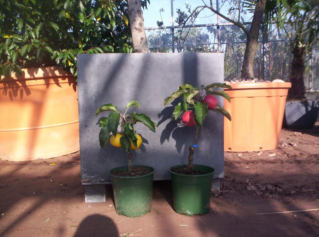 neuheit amerikanischer zwergapfelbaum f r den wintergarten balkon und wohnung pflanzen 1x1. Black Bedroom Furniture Sets. Home Design Ideas