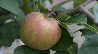 Schöner Apfel vom Säulenapfel Roter Boskoop